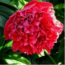 Пион травянистый Ред Мэджик