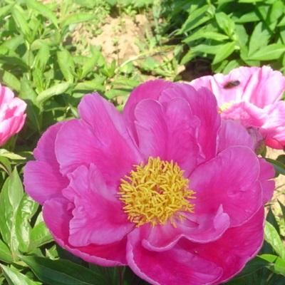 Пион травянистый Розовая Башня