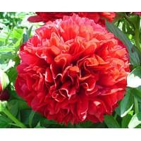 Пион травянистый Ред Грейс