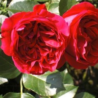 Роза плетистая Мейян  Ред Эден Розе