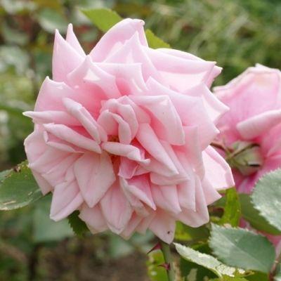 Роза плетистая Блоссом Тайм