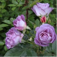 Роза плетистая Блю Мун
