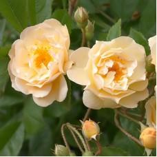 Роза плетистая Гислайн де Фелигонд