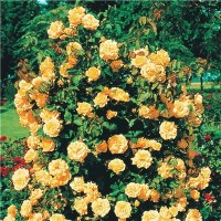 Роза плетистая Голден Элеганс