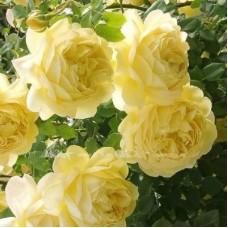 Роза плетистая Голден Парфюм