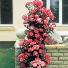 Роза плетистая Хэндель