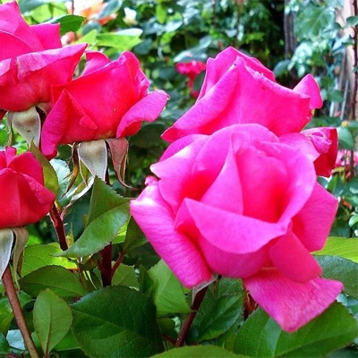 Роза плетистая Клайминг Критерион