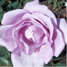 Роза плетистая Клайминг Си-си