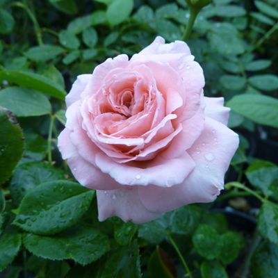 Роза плетистая Корал Даун купить саженцы