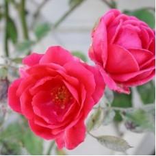 Роза плетистая Пауль Скарлет Клайминг