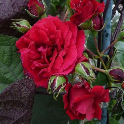 Роза плетистая Сантана купить саженцы