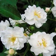 Роза плетистая Гирлянд д'Амур