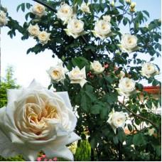 Роза плетистая Илзе Крон