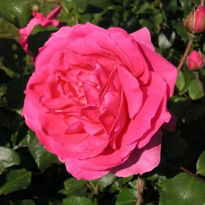 Роза плетистая Клайминг Парад купить саженцы