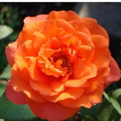 Роза плетистая Метанойя купить саженцы