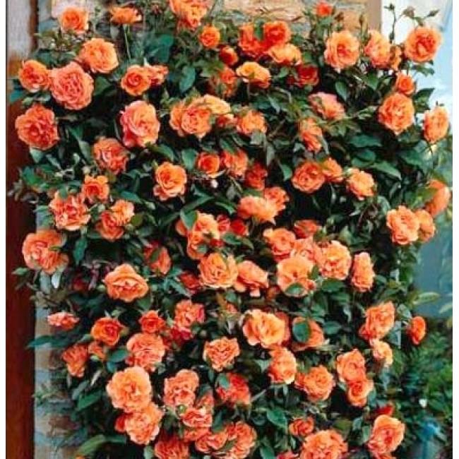 плетистая роза метанойя фото флажным семафором
