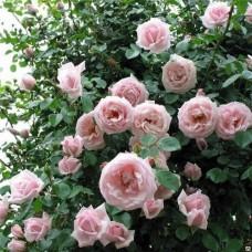 Роза плетистая Нью Даун - штамб (Люкс: 3 и более прививок)