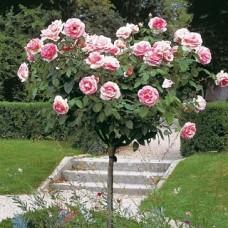 Роза плетистая Пьер де Ронсар - штамб (Люкс: 3 и более прививок)