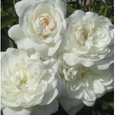 Роза плетистая Сноу Принцесс