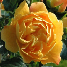 Роза почвопокровная Селенсе де Фронтиньян - штамб (Люкс: 3 и более прививок)