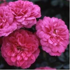 Роза Кордес почвопокровная Кнепс