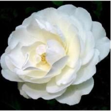 Роза почвопокровная Арктик Файр