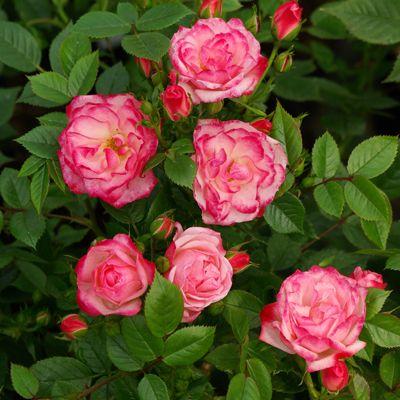 Роза почвопокровная Фэйри купить саженцы