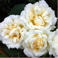 Роза почвопокровная Лимон Кутюр