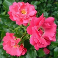 Роза почвопокровная Хайдетраум