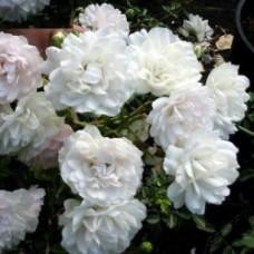 Роза почвопокровная Сиа Фом