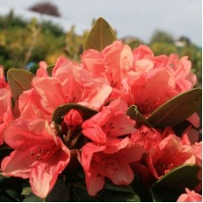 Рододендрон гибридный Амаретто