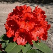 Рододендрон гибридный Ред Джек
