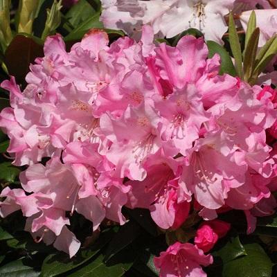 Рододендрон якушиманский Калинка