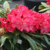 Рододендрон якушиманский Лихтфаер
