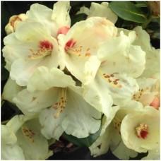 Рододендрон якушиманский Флава Лакблатт