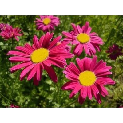 Пиретрум розовый Робинсон Ред
