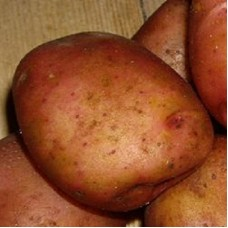 Семенной картофель Ильинский