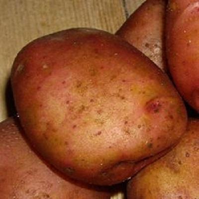Купить Семенной картофель Ильинский