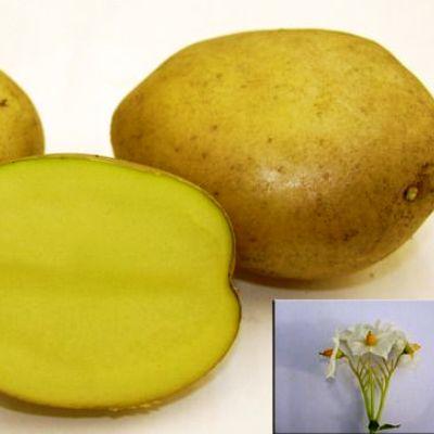 Семенной картофель Метеор