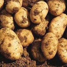Семенной картофель Лисана