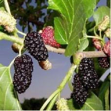 Шелковица черная