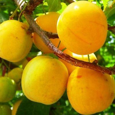 Слива Желтая самоплодная
