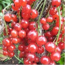 Смородина красная Алтайская рубиновая