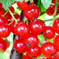 Смородина красная Асора