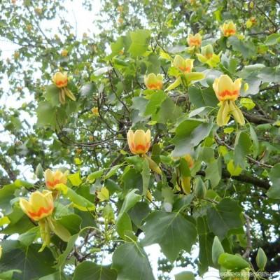 Тюльпанное дерево (Лириодендрон тюльпанный)