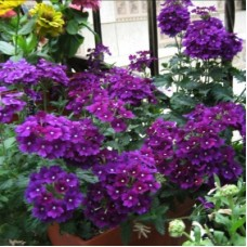 Вербена крупноцветковая Фиолетовая