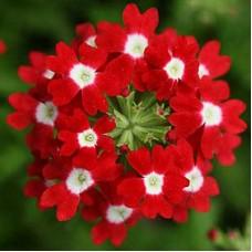 Вербена крупноцветковая Красная с белым глазком