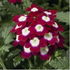Вербена крупноцветковая Вишневая с белым глазком