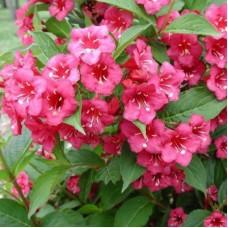 Вейгела цветущая Бристол Руби