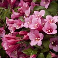 Вейгела цветущая Минуэт